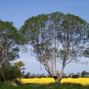 #0601 Baum im Raps