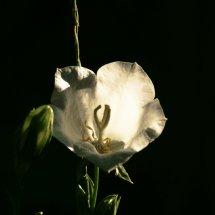 #0023 Glockenblume weiß