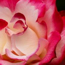 #0204 Makro Rose
