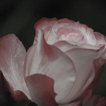 #0237 soft Rose