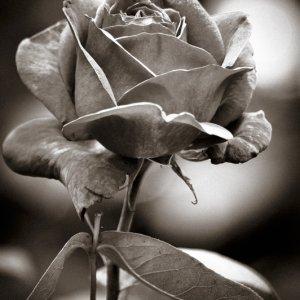 #0205 Rose  schwarz weiß