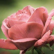 #0238 Rosenblüte vintage