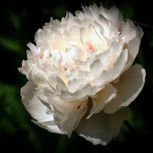 #0239 weiße Rosenblüte